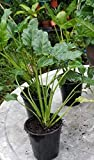 """Philodendron 'Xanadu' (Philodendron Hybrid) - 1 Plant - 1 Feet Tall - 4"""" Pot"""
