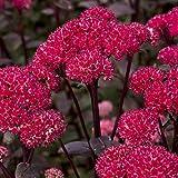 Van Zyverden 83700 Garden Succulent Sedum Red Cauliflower Set of 3 Roots Flowering-Plants #1