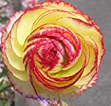 1 Professional Pack, Aprrox 20 seeds / pack, Beautiful Flowering Blubs'Ranunculus-Persian Buttercup' New Flower Bulb # LT622