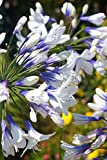 Southern Living Indigo Frost Agapanthus (Ornamental, Landscape, Green Foliage, White-Blue Flowers), 2.5 Quart