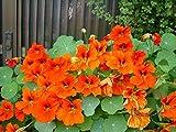 Nasturtium Orange imperator *Tropaeolum majus lobbianum* Flower Seeds