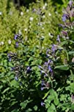 1 Strater Plant of Nepeta X Faassenii - Catmint