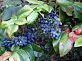 Oregon Holly Grape, Mahonia aquifolium, Shrub Seeds (Edible, Fall Color, Hardy) 20