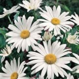 Todd's Seeds English Daisy (Bellis Perennis) Single White Flower Seed - 1g Seed Packet