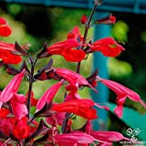 100 PINEAPPLE SAGE Red Salvia Elegans Herb / Flower Seeds, by Palace of the sun