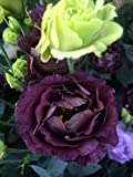 20+ BLACK PEARL AND LIME GREEN LISIANTHUS FLOWER SEEDS MIX/ EUSTOMA / ANNUAL