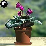 Buy Cyclamen Persicum Flower Seeds 6pcs Plant Rabbit Ears Flower Cyclamen