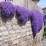 50+ AUBRIETA ROYAL VIOLET, ROCK CRESS FLOWER SEEDS, PERENNIAL , DEER RESISTANT !