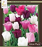 20 Purple Rain Mix Tulip Bulbs - Tulipa Triumph