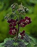 4 Bare Root of Geranium Phaeum 'Samobor'