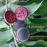 ~KETEMBILLA~ Dovyalis hebecarpa CEYLON GOOSEBERRY FRUIT TREE Live Potted Plant
