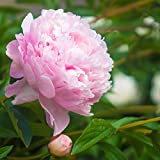 Peony Mrs. F. D. Roosevelt - 1 Healthy 3/5 Eye Peony Root Plant - Fragrant! | Ships from Easy to Grow TM