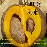 ~MAMMEY APPLE~ Mammea americana APHRODISIACAL Fruit Tree LIVE Potted 3ft PLANT