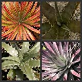 Hechtia Special mix plants 25 seeds~Colorful bromeliad cactus seeds Not Agave