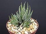 """Haworthia Attenuata, Zebra Zebrina Exotic Rare Succulent Cactus Plant Cacti 2"""""""