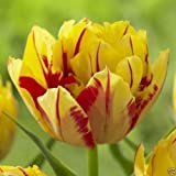 25 Tulip Double Early Monsella,12/+cm, Fall Planting Bulbs, NOW SHIPPING!