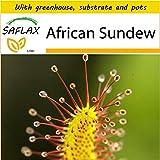 SAFLAX - Potting Set - African Sundew - 200 seeds - Drosera capensis