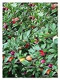 Santa Rosa Plum (Prunus Salicina)-1 1/2 Yr Old Healthy Bare Root Fruit Tree-1 Each