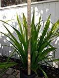 PlantVine Trimezia martinicensis, Iris - Yellow Walking - Large - 8-10 Inch Pot (3 Gallon), Live Plant - 4 Pack