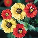 (AZ)~PERUVIAN RED & WHITE ZINNIA~Seeds!!!!~Zinnia peruviana!