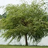 Weeping Willow Tree - 5-6 ft.