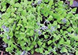1 Strater Plant of Nepeta X Faassenii 'Limelight' - Limelight Catmint