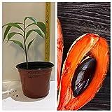 MAMEY SAPOTE FRUIT TREE 1 FEET TALL PLANT