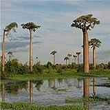 Garden Plant Genuine 10 pieces of high-quality rare baobab seeds tropical plant tree seeds free shipping Home & Garden Bonsai S