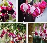 Hardy Shrub Climbing Fuchsia 'Pink Fizz' Flower Seeds, Professional Pack,100 Seeds / Pack, Bonsai Seed