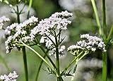 Valerian HERB, 51 Seeds VALERIANA OFFICINALIS, Beautifully Scented Flowers, HERB