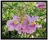 50 Desert Willow Tree Seeds, Chilopsis Linearis