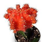 Grafted Moon Cactus Gymnocalycium Mihanovichii (Orange)