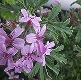 Rober's Lemon Rose Scented Leaf Geranium- Repels Mosquitos - Indoors/Out -Qt Pot