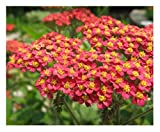 David's Garden Seeds Flower Achillea Yarrow Red SL112 (Red) 500 Non-GMO, Open Pollinated Seeds