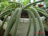 Rat Tail Cactus Plant