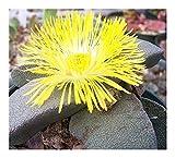 Pleiospilos simulans - succulent - 10 seeds