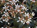 Rhaphiolepis indica CLARA INDIAN HAWTHORN Seeds!