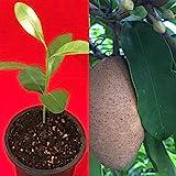 Sapodilla Manilkara Zapota Chiku Makok Tropical Tree Starter PLANT Seedling