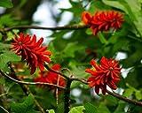 10 Seeds Erythrina Livingston's Coral Tree