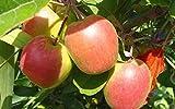 Mini Anna Apple Tree-Produces in warm climates such as California/Florida