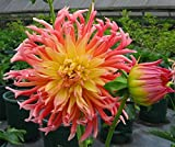 Alfred Grille Cactus Dahlia Clump - Bright Yellow/Pink - #1 Size Root Clump