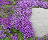 Helens Garden Heirloom Rockcress Aubrieta Whitewell Gem Flowers, 25 Seeds - Purple