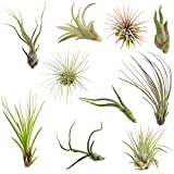 CTS Air Plants Assorted Tillandsia Easy Care Collection(10 Pack)-Low-Maintenance Air Plants