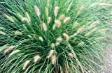 5 Starter Plants of Pennisetum Orientale