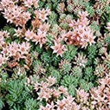 Plentree Seeds Package: Fresh 0 Seeds - Se His Ground Cover Seed