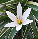 """4 Rain Lily Bulbs, Zephyranthes """"Candida"""", Magic Lily, Fairy Lily, Rainflower, Zephyr Lily, Flowering Size.(4 bulbs)"""