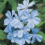 HEIRLOOM NON GMO Blue Plumbago 10 seeds