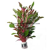 Alternanthera Bettzickian Bunch Red Ficoidea Live Aquarium Plants BUY2GET1FREE