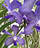 "ARANDA CHAO PRAYA BLUE, VANDA TYPE ORCHID PLANT SHIPPED IN 2 1/2"" POT"