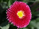 100 MIXED COLORS ENGLISH DAISY Bellis Perennis Flower Seeds